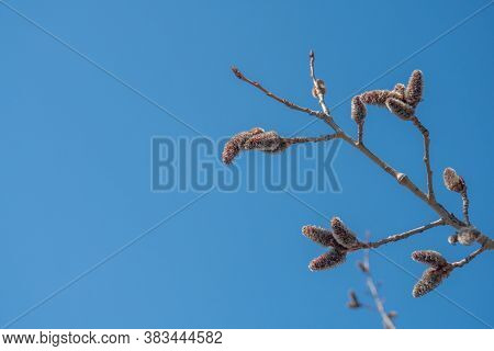 Background Blue Sky And Alder Branch Sunny Weather Outdoor