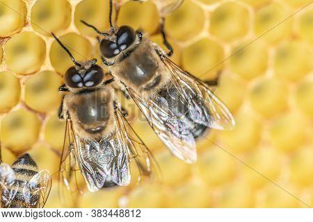 Closeup Macro Big Drone Bee In Honeycomb Male Bee With Bee Worker
