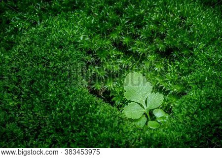 Beautiful Green Moss On The Floor,  Macro. Moss Closeup, Beautiful Background Of Moss; Beautiful Gre