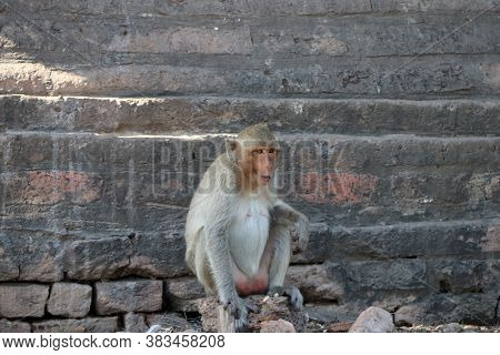 The Crab-eating Macaque Monkey Sitting On The Laterite At Phra Prang Sam Yot (three Pagoda) In Lopbu