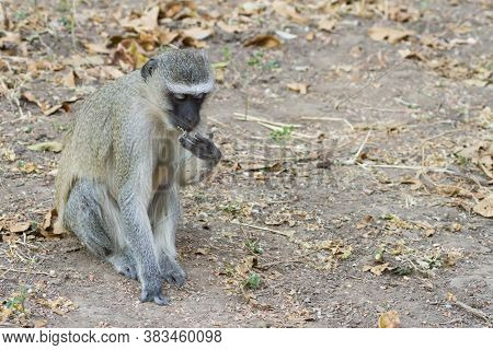 Vervet Monkey (chlorocebus Pygerythrus) Sitting Alone On The Ground Eating Leaves In Mana Pools, Zim