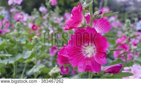 Beautiful Red Petals Of Hollyhocks, Known As Alcea Is Flowering Plants In Mallow Family Malvaceae