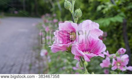Beautiful Pink Petals Of Hollyhocks, Known As Alcea Is Flowering Plants In Mallow Family Malvaceae,