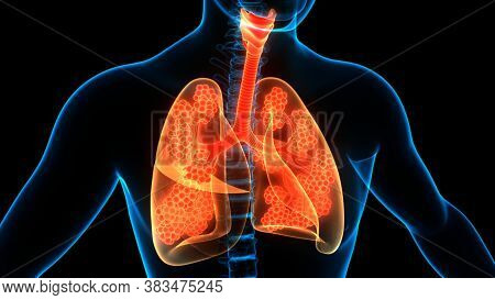 3d Illustration Concept Of Human Respiratory System Lungs With Alveoli Anatomy