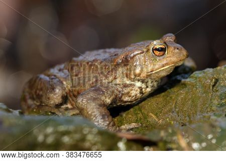 The Common Toad, European Toad, Or Simply The Toad (bufo Bufo) Sitting In A Mountain Creek. Big Frog