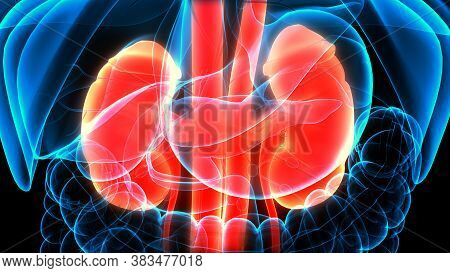 3d Illustration Concept Of Human Urinary System Kidneys Anatomy