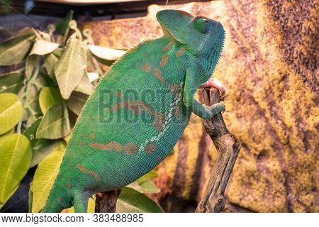 Yemeni Chameleon, Or Helmet-bearing Chamaeleo Calyptratus - A Species Of Lizards From The Chameleon