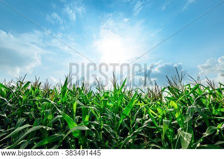 Corn Planted In Corn Field And Blue Sky.