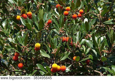 Strawberry tree Arbutus unedo with fruits. Guara mountains. Huesca. Aragon. Spain.