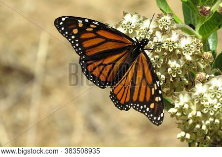 Orange Monarch Butterfly On A Flower In The Australian Bush