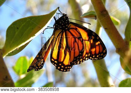 Monarch Butterfly With Orange Wings Emerged From A Cocoon In A Garden