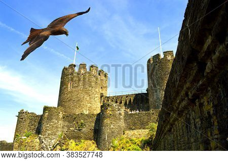 Conwy, Wales, United Kingdom - June 22, 2014 : Common Buzzard Latin Name Buteo Buteo Flying Over The