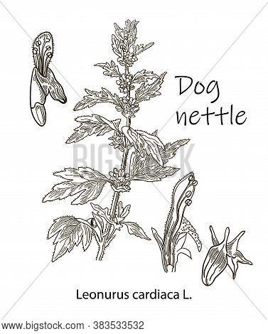 Dog Nettle, Vintage Engraved Illustration. More Realistic Botanical Illustration. Image For Your Des