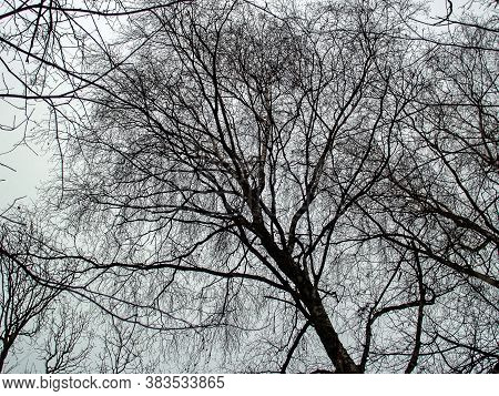 Bare Trees In Winter Against The Sky, Moscow