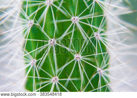 Macro Closeup To The Spines Of A Cactus With Selective Focus. Cactus With Long Red Pointed Spines Wi