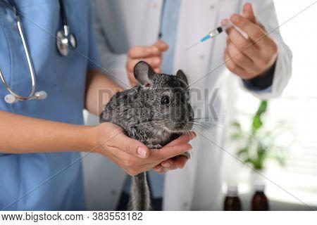 Professional Veterinarians Vaccinating Chinchilla In Clinic, Closeup
