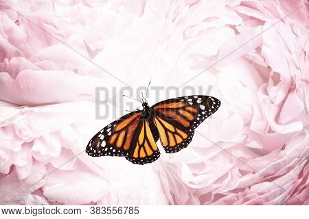 Amazing Monarch Butterfly On Beautiful Flowers, Closeup