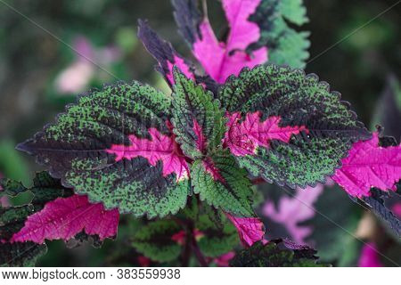 Multi Colored Leaves Pink,purple And Green Color Leaves Growing In Garden