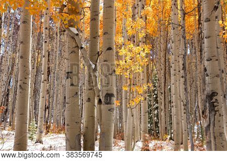 Tall Aspen trees in autumn time