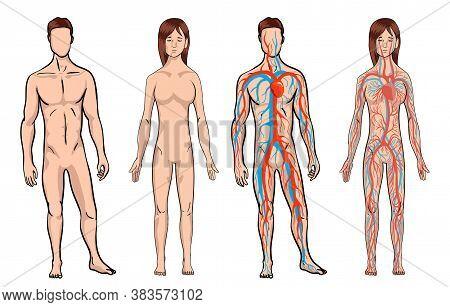 Circulatory System. Medical Vector Illustration Anatomy Of Human Body System. Male And Woman Circula