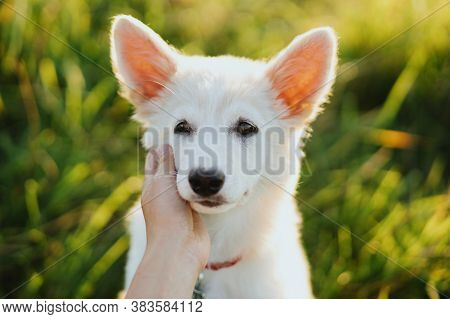 Woman Hand Caressing Cute White Puppy Face In Warm Sunset Light In Summer Meadow. Portrait Of Adorab
