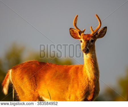 Young White-tailed Buck (odocoileus Virginianus) In The Process Of Molting During Late Summer With V