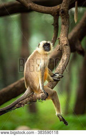 Gray Langurs Or Hanuman Langurs Or Indian Langur Or Monkey In Natural Green Background During Monsoo