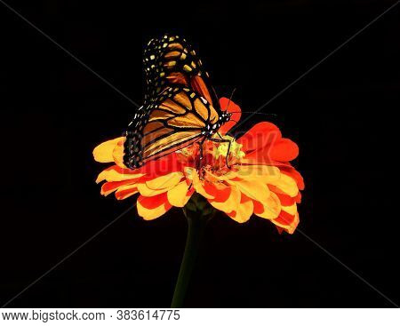 Monarch Butterfly Pollinating Orange Zinnia Flower On Black Background