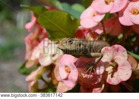 Close Up Chameleon On Pink Flower In Garden