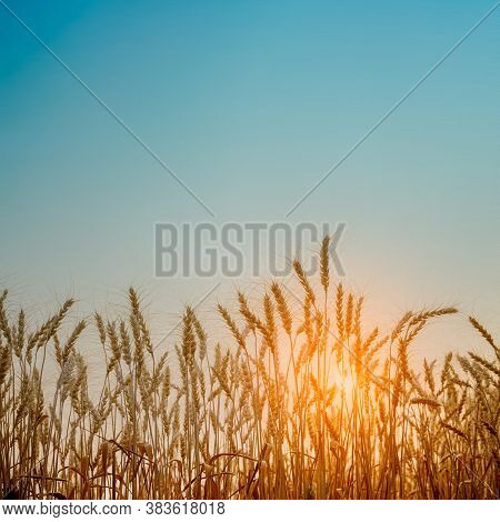 Beautiful Landscape Of Golden Wheat Field With Sunset Natural Background.