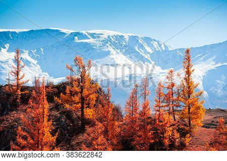 Snow-covered Mountain Peaks And Yellow Trees. Autumn Landscape In Altai, Siberia, Russia. View Of No