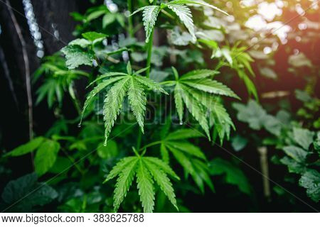 Bush Flowering Herb Hemp With Seeds And Flowers With Sun Glint On Dark Green Background. Concept Bre