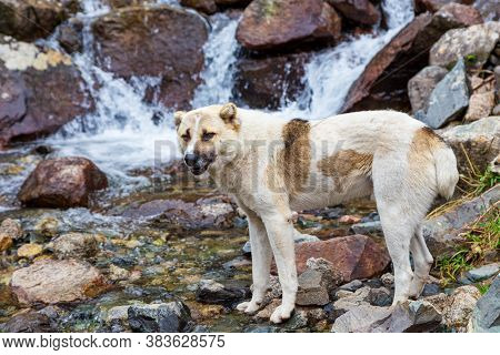 A Stray Dog Drinks Water In The River. Animal Free Or Helping Stray Animals.