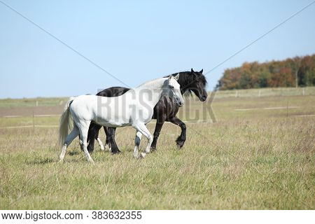 Couple Of Horses On Pasturage