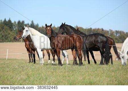 Batch Of Horses On Pasturage