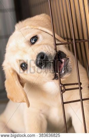 Puppy Is Teething. Funny Little Labrador Puppy Bites Iron Cage Door.
