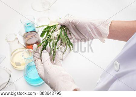 Closeup Hand Of Scientist Holding Marijuana Leaves, Scientist Analytics Marijuana For Alternative He