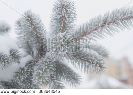 The Branches Of The Spruce Are Covered With White Prickly Frost. Close-up Of Natural Christmas Tree