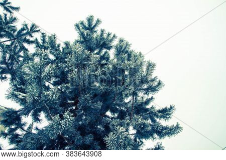 Pine In Winter Frosty Weather. Snow Decoration On A Tree.