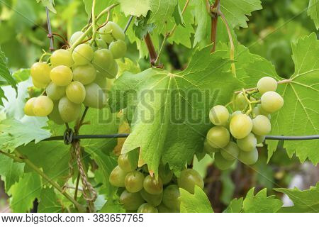 Bunches Of White Ripe Grapes Grow On The Vines In Summer In The Garden. Bright Green Vine Leaves, Su
