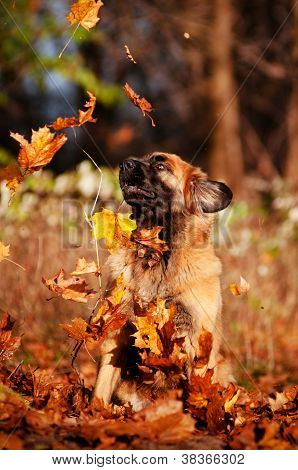 leonberger dog catching falling leaves