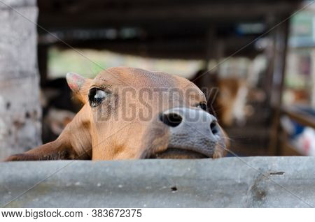 Close Up The Head Of Cow At Cage