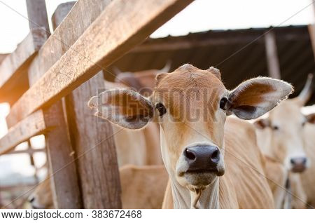 Cattle At The Cage Look In Front.