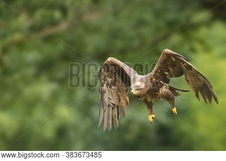 The Steppe Eagle (aquila Nipalensis) Flying In Front Of Green Trees. A Large Steppe Eagle Flies With