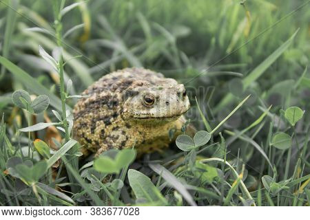 Common Toad Or A European Toad Repose In Green Grass . Face Portrait Of Large Amphibian In The Natur