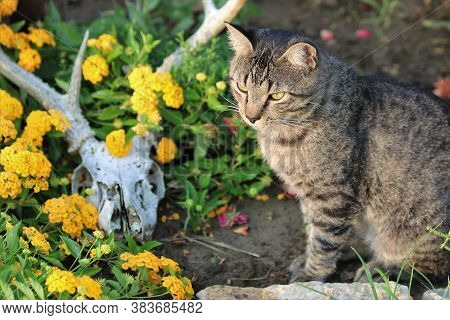 A Gray Tabby Cat Is Sitting In A Flower Bed Of Yellow Lantana Flowers And A Deer Skull With Antlers.