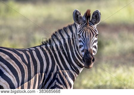 Common Zebra (equus Quagga) Looking At Camera In Bushveld Savanna Of Kruger National Park South Afri
