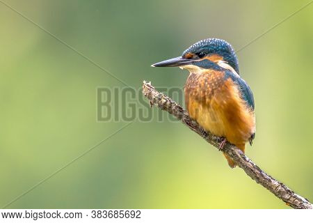 Eurasian Kingfisher (alcedo Atthis) With Copyspace. This Bird Is A Widespread Small Kingfisher With