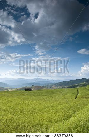 Beautiful Rice Field In Thailand