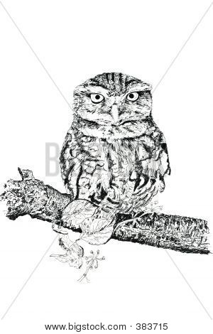 pen and ink hand drawn illustration of a tawny owl against a white background. illustration by marilyna. poster